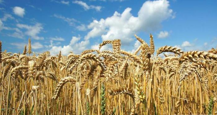 Цены на зерно и сою достигли 8-летних максимумов